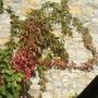 Partneocissus_henryana_on_house_wall