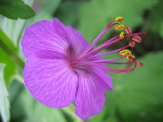 Geranium   Crane's Bill (Geranium macrorhizum)