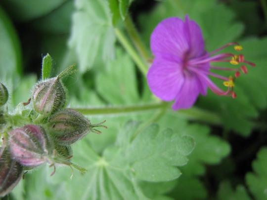 Geranium buds (Geranium macrorhizum)