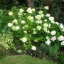 Hydrangea paniculata Annabel