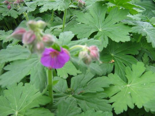 Geranium -- wonderfully scented leaves (Geranium macrorhizum)