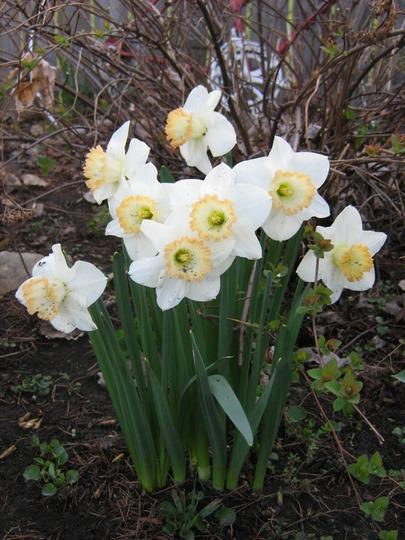 Narcissus, 'pink pride'