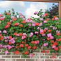 pelargoniums on my neighbour's window-cill    -300710 (Pelargonium peltatum (Hanging Geranium))