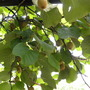 lots of kiwis at my sister's in Antwerp  -310810 (Actinidia deliciosa (Kiwi fruit))