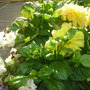 BEGONIAS AND DAHLIAS IN POT