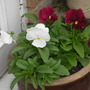 FIRST WINTER PANSIES PLANTED IN POT