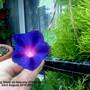 Ipomoea purpurea (Morning glory)