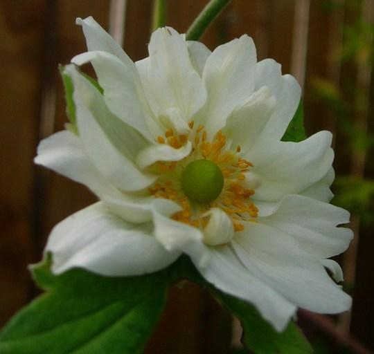 Anemone hupehensis 'whirlygig'