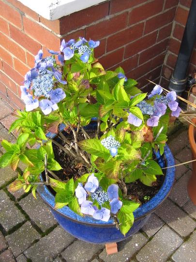 Blue Hydrangea (Hydrangea macrophylla)