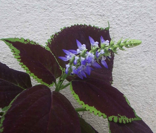 "Flower Spike on Coleus ""Chocolate Mint"" (Solenostemon scutellarioides (Coleus))"