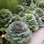 Ornamental Cabbages/Kale (Brassica oleracea (Capitata) (Ornamental cabbage))