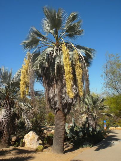 Brahea armata - Mexican Blue Palm Blooming (Brahea armata - Mexican Blue Palm)