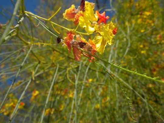 Parkinsonia aculeata - Mexican Palo Verde Tree Flowers (Mexican Palo Verde Tree Flowers)