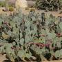 Opuntia cactus - unknown species (Opuntia cactus)