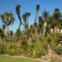 Yucca brevifolia - Joshua Tree Flowering (Yucca brevifolia - Joshua Tree)