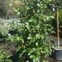 Gardenia jasminoides  'Veitchii' -  Everblooming Gardenia