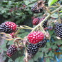 Thornless blackberry