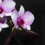 Dendrobium (Dendrobium)
