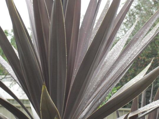 Raindrops on Cordyline