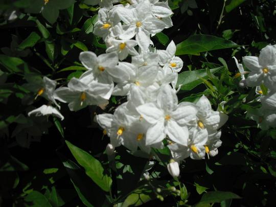 Solanum jasminoides (Solanum jasminoides (Potato Vine))