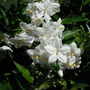 Solanum jasminoides (Solanum jasminoides (Potato Vine))