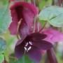 """Rhodochiton """"Purple Bell Vine"""" (Rhodochiton atrosanguineus (Rhodochiton))"""