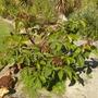 Bombax ellipticum (fka: Pseudobombax ellipticum) -  Shaving Brush Tree (Bombax ellipticum (fka: Pseudobombax ellipticum) -  Shaving Brush Tree)