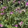 Polygala myrtifolia 'Grandiflora' - Sweet Pea Bush (Polygala myrtifolia 'Grandiflora' - Sweet Pea Bush)