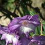 Gladioli _ Violetta