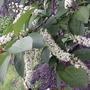 Chokecherry tree is in flower (Prunus virginiana)