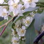 2008_05_17_chokecherry_flowers