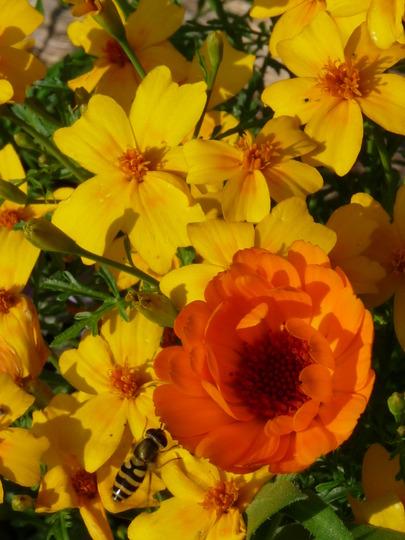 Tagetes and Calendula - September colours (Tagetes tenuifolia (Tagetes))