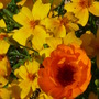 Tagetes and Calendula - September colours (Tagetes tenuifolia (Tagetes))