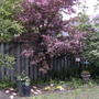 The crabapple tree in bloom (Malus)