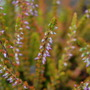 Prostrate orange heather (Calluna vulgaris)
