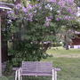 Purple lilac tree in bloom (Syringa vulgaris)