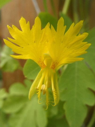 Tropaeolum peregrinum (Tropaeolum peregrinum (Canary creeper))