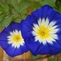"""Convolvulus """"blue enchantment' (convulvulus tricolor)"""