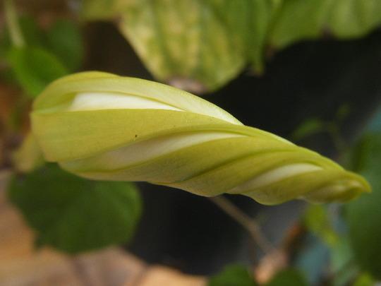 Moonflower Bud: Ipomoea alba (Ipomoea alba (Belle de nuit))