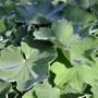 Early morning in September (Alchemilla mollis (Lady's mantle))