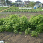 Our Allotment in early Summer.The Enviromesh is covering the Carrots ,we find it is the only thing that will stop the dreaded Carrot Fly from attacking the Carrots