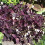 Trifolium repens 'Purpurescens' - 2010 (Trifolium repens 'Purpurescens')