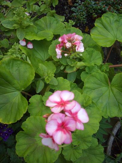 Pelargonium (pale pink/deep pink) (Pelargonium)