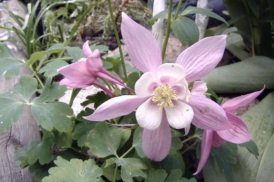 Aquilegia hybrida 'Origami Rose & White' (Aquilegia hybrida 'Origami Rose & White')
