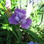 Purple blue Iris Sibirica
