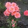 sunset boulevard (rosa floribunda sunset boulevard)