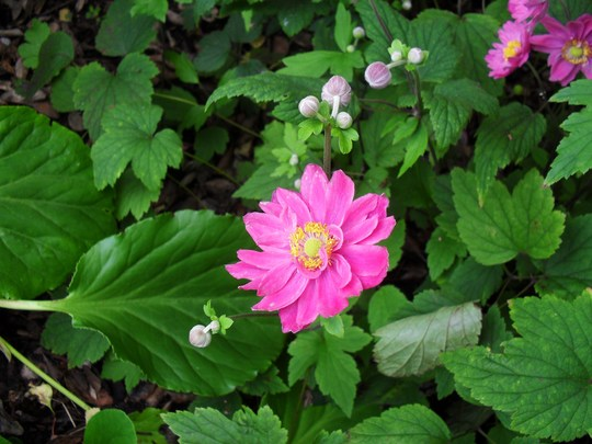 Close up of a lovely Japanese Anemone