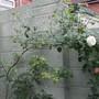 White climbing rose Sept 2010
