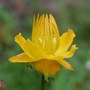 "Trollius Chinensis ""Golden Queen"" (trollius chinensis)"