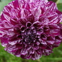 Dahlia &quot;Marble Ball&quot; (Dahlia Pinnata { Decorative Dahlia})